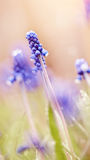Blue flowers of a muskari in dew Stock Photos