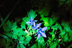 Blue Flowers in natural spotlight stock photos