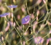 Blue flowers in nature. A blue flowers in nature . A photo royalty free stock photos
