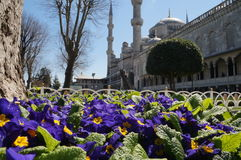Blue flowers near the mosque in Istanbul Stock Photos
