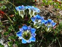 Blue flowers, Nepal Stock Photos