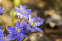 Blue Flowers. Nice blue flowers on the ground Royalty Free Stock Image