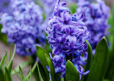 Free Blue Flowers Of Hyacinth Stock Photography - 79626912