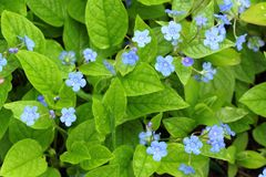 Blue flowers. Omphalodes verna, Blue-eyed-Mary or Creeping navelwort Stock Image