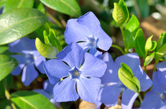 Blue flowers periwinkle among green leaves in the forest Stock Photo