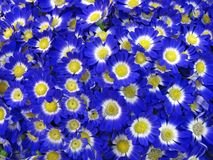 Blue flowers, petals concept, nature Royalty Free Stock Photos