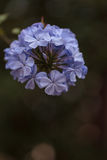 Blue flowers of Petrea volubilis Stock Images