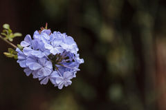 Blue flowers of Petrea volubilis Stock Photography