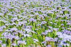 Blue flowers (Phacelia tanacetifolia) Stock Images