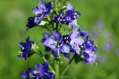 Blue flowers Polemonium caeruleum or Jacob's-ladder stock images