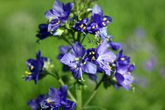Free Blue Flowers Polemonium Caeruleum Or Jacob S-ladder Stock Images - 120438144