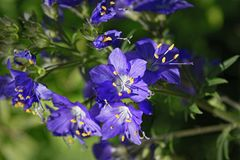 Free Blue Flowers Polemonium Caeruleum Or Jacob S-ladder Stock Photography - 120438172