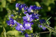 Free Blue Flowers Polemonium Caeruleum Or Jacob S-ladder Stock Photo - 120438180
