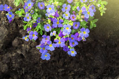 Blue flowers  purple rock cress in flowerbed Royalty Free Stock Image