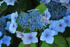 Blue Flowers Royalty Free Stock Photos