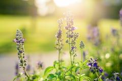 Blue flowers salvia shining background Stock Photo
