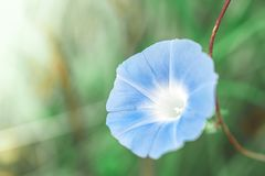 Blue flowers selective focus Royalty Free Stock Photo