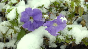 Blue flowers with snow stock footage