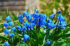Blue flowers of snowdrop growing in garden in spring. The blue flowers of snowdrop growing in the garden in the spring royalty free stock image