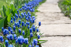 Blue Flowers in Spring Day Stock Photo