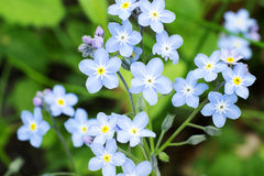 Blue flowers on a spring meadow Stock Image