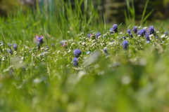 Blue flowers. Spring blue wild flowers  in a park Royalty Free Stock Photography
