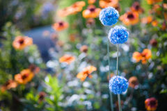 Blue flowers in a summer garden Royalty Free Stock Image