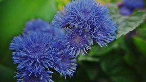 Blue flowers in the summer garden Royalty Free Stock Image