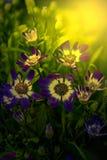 Blue flowers at sunrise Stock Photos