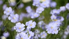 Blue flowers sway in the wind. linum usitatissimum. Blue flowers sway in the wind. Flowering flax ordinary spring stock footage