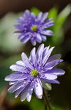Mountain Purple flowers - Hepatica transsilvanica. Spring background Stock Images