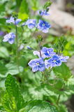 Blue flowers Veronica chamaedrys Royalty Free Stock Images