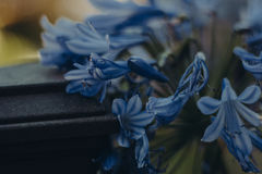 Blue Flowers Stock Image