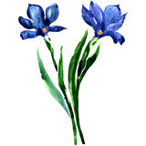 Blue flowers. Watercolor floral illustration Stock Photo