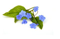 Blue flowers on white. The spring flowering plant Omphalodes verne isolated on white background Royalty Free Stock Photo