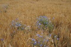 Blue flowers, yellow field. Beautiful blue flowers growing wild in a corn field stock photo