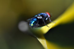 Blue fly Royalty Free Stock Images