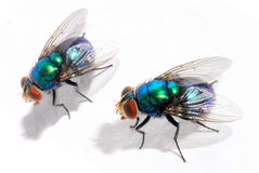 Blue Fly royalty free stock photography