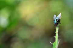 Blue fly on blade of grass Royalty Free Stock Photography