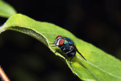 Blue Fly on Leaf Royalty Free Stock Photos