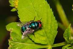 Blue fly Stock Images