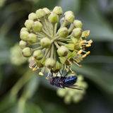 Blue fly under flower of hedera Royalty Free Stock Photo