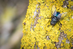 Blue fly on yellow moss Stock Image