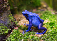 Blue flying frog Royalty Free Stock Photo