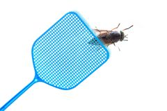 Blue flyswatter is hunting a dark giant horsefly, isolated on a royalty free stock images