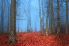 Blue foggy day and red leaves in fairytale forest Stock Image