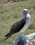 Blue Footed Boobie. The Blue Footed Boobie nest on the Galapagos Islands Stock Photo
