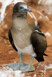 Blue footed boobie Stock Photography