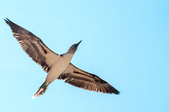 Blue-footed boobie Royalty Free Stock Photography