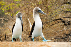 Blue footed boobie Stock Photo